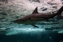 Requins, Aquarium de La Marina (miscellanees de vie) Tags: aquarium requin guadeloupe grandeterre lamarina