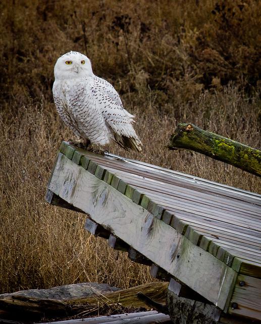 SNOWY OWL-16