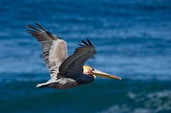 (lareecb) Tags: park bird birds lajolla pelican bif