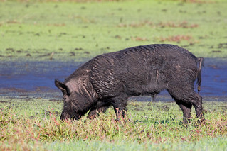 Wild hog at Myakka River State Park