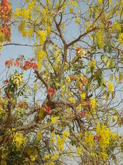 Cassia fistula, Golden Shower tree or ,  (cpmkutty) Tags: yellow cassiafistula floweringtrees caesalpiniaceae amaltas goldenshowertree indianlaburnum kanikonna gulmoharfamily vishukonna