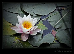 Nenfar (Perikolo) Tags: lago flor girona aigua llac nenfar banyoles pladelestany
