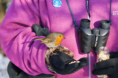 FEEDING A FRIENDLY ROBIN (jdoakey) Tags:
