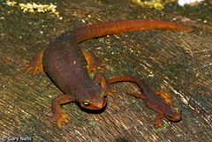 "Adult and juvenile California newt • <a style=""font-size:0.8em;"" href=""http://www.flickr.com/photos/69404818@N05/6849968477/"" target=""_blank"">View on Flickr</a>"