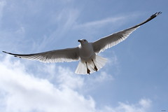 Ring-billed Gull (Diane Marshman) Tags: white black nature birds flying bill body pennsylvania wildlife gull gulls gray flight wing band ring size pa upper tips medium northeast in ringbilled