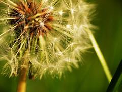 Pustende Harmonie (Kevin Schulz) Tags: warm kevin herbst natur wiese gras grn braun makro garten rasen frhling schnheit schulz romantik pusteblume frhblher