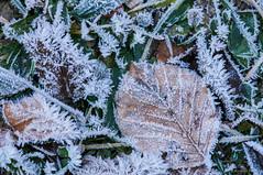 Cristales de agua (SantiMB.Photos) Tags: autumn espaa cold ice leaves trash hojas frost otoo fro hielo catalua escarcha osona hojarasca vidr 2tumblr sal18250 2blogger