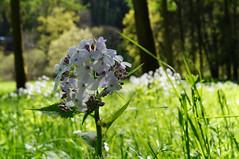 mf (misomeri) Tags: sunlight flower macro closeup belgium belgie shadowplay furfooz wallonie wallonia parcnaturel