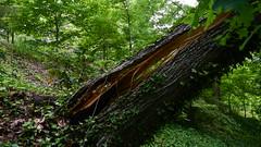 DSCN1419 (VerlynC) Tags: tree falling hickory