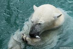Ijsberen, Wildlands-7592 (Josette Veltman) Tags: zoo arctic ijsbeer icebear emmen dierentuin icebears noordpool roofdier wildlands ijsberen