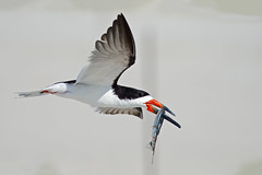 Black Skimmer with Needlefish (Brian E Kushner) Tags: new york ny black beach birds nikon long wildlife 300mm f4 lido skimmer birdwatcher nickerson blackskimmer rynchopsniger nikor tc17eii tc17 d4s nickersonbeach bkushner nikon300mmf40dedifafsnikkorlens nikond4s brianekushner