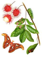 Attacus Atlas and rambutan (esperoart) Tags: art butterfly watercolor painting botanical wings moth exhibition atlas attacus esperoart