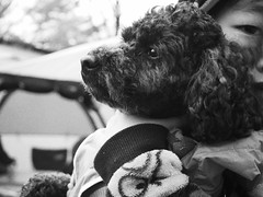 P5040007 (mina_371001) Tags: boy dog pet monochrome japan hokkaido relatives lovely littleboy owner toypoodle photographywork olympusomdem10 hisowner