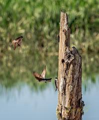 Nesting Tree Swallows.jpg (Eye of G Photography) Tags: trees usa grass places swamp northamerica marsh washingtonstate slough skagitvalley deadtrees swallowsnest treeswallow wylieslough skagitwildlifearea