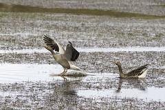Grauwe ganzen (judithvanagthoven) Tags: nature terschelling canon nederland natuur gans ganzen grauwe sigma150500mm eendvogels eendachtigen 7dmarkii