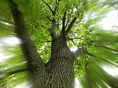 ...stretch those limbs... (carbumba) Tags: trees tree green nature leaves branches bark tall limbs