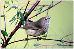 Brown Thornbill (Ross_M) Tags: birds flickr australia queensland australianbirds passeriformes brownthornbill acanthizapusilla acanthizidae jimnanationalpark peachtreescampsite