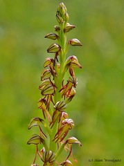 Man Orchid - Bedfordshire (Alan Woodgate) Tags: