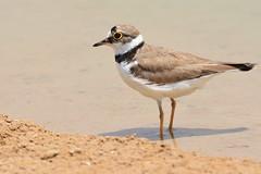 Little Ringed Plover @ Al Qudra Oasis, Dubai, UAE (Ma3eN) Tags: little ringed plover qudra oasis dubai desert uae 2016 bird