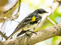 Yellow Rumped Warbler (tresed47) Tags: philadelphia birds us pennsylvania content places folder warbler takenby yellowrumpedwarbler 2016 johnheinznwr peterscamera petersphotos canon7d 20160420johnheonzbirds 201604apr