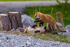 IMG_3946 red fox (starc283) Tags: nature canon outdoors outdoor wildlife fox kit predator redfox starc283