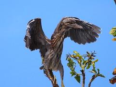 Juvenile Black-crown Night Heron (WilliamPeh) Tags: wild black bird heron birds animal night nest outdoor wildlife birding olympus explore juvenile omd crowned em5