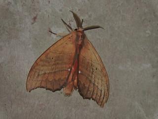 Nongla/弄拉 - Gangarides sp. DSCN6211