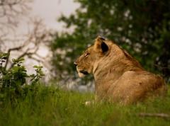 Lioness (Mvubux) Tags: africa wild game nature animal animals cat southafrica bush wildlife lion free safari bigcat wildanimal veld wildanimals wildgame africansafariafrica
