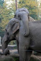 olifanten - burgers zoo (K.Verhulst) Tags: zoo arnhem elephants burgerszoo olifant olifanten aziatischeolifant asiaticelephants