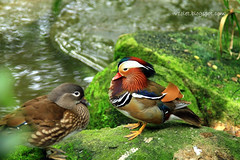 IMG_6388 Mandarin Duck1 (Luciana Adriyanto) Tags: travel singapore mandarinduck jurongbirdpark v1olet lucianaadriyanto