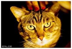 Ojos Felinos (ECLIME) Tags: animal cat eyes feline pentax 14 ojos gato felino 50