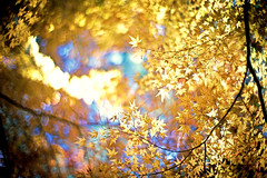 Golden Days Revisited (moaan) Tags: life leica november autumn sunlight color sunshine digital canon 50mm gold glow dof bokeh momiji japanesemaple kobe utata glowing hue tinted m9  f095 mountrokko 2011 tinged autumnaltints inlife canon50mmf095 leicam9