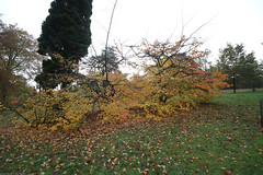 IMG_4530.jpg (mike_uk) Tags: autumn trees colours maples acers