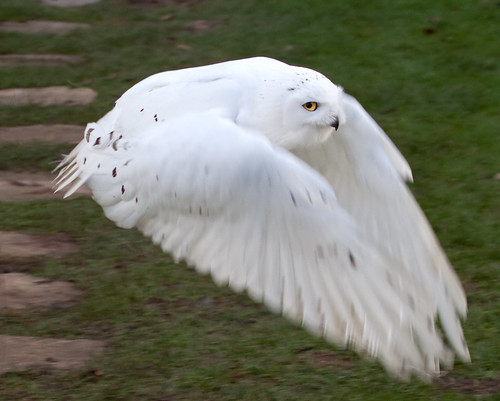 Snowy Owl in Flight by ahisgett, on Flickr