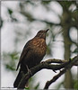 BLACKBIRD (Shaun's Photographic World.) Tags: birds shaund