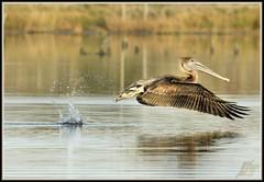 A Skip and a Jump (WanaM3) Tags: lake nature water pond texas wildlife pelican bayou pasadena brownpelican horsepenbayou wanam3