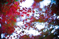 Embers of Autumn (moaan) Tags: life leica november autumn digital 50mm dof bokeh f10 momiji japanesemaple flame utata noctilux blaze tinted flaming m9 blazing 2011 tinged autumnaltints inlife leicanoctilux50mmf10 leicam9