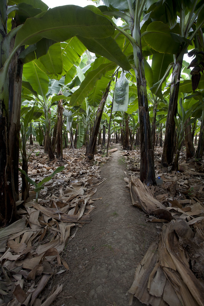 Plantation de bananes