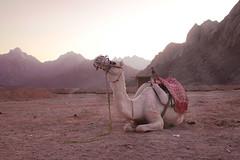 desert queen (Stefan Lorse) Tags: sun mountains desert stones sommer urlaub egypt berge steine camel egyptian rays dust sonne ägypten hurghada kamel wüste erde strahlen canoneos50d sigam2470mmf28dgexmarco
