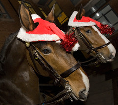 All Set for Christmas (Greater Manchester Police) Tags: uk horse manchester unitedkingdom police gmp mountedpolice policehorse britishpolice ukpolice mountedbranch greatermanchesterpolice unitedkingdompolice
