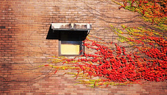 I can't stop loving you (Qiao.Wei) Tags: autumn summer window wall spring brickwall canberra anu redleaves bostonivy ef70200mm f4is canon5dmarkii australiasnationaluniversity