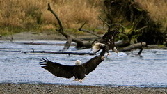 It takes my breath away... (NetDep) Tags: fish fight war eagle baldeagle skagitriver skagitrivereagle