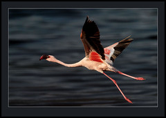 One in a million!  (view large) (Rainbirder) Tags: lesserflamingo phoenicopterusminor lakebogoria phoeniconaiasminor mygearandme mygearandmepremium mygearandmebronze mygearandmesilver mygearandmegold mygearandmeplatinum rainbirder