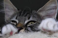 Peekaboo (NTFlicker) Tags: eyes kitten nikoncoolpix8800 81daysold