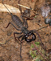 Whip Scorpion (Thelyphonida) (Meenakshi Mallik) Tags: family brown india black dark insect grey order flat body indian arachnid teeth tail small fine like wave insects frog fluid scorpion scorpions whip strong species prey cracks poison worms non andhra base function pincers hairs poisonous pradesh invertebrates arthropod defend glands vertebrates nonpoisonous palps acrid squirting crevices sensory tyda vinegaroons uropygi thelyphonida tyada schizomida vinegarroons uropygids whiplike