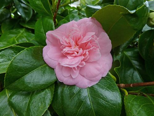 Christmas Day Camellia