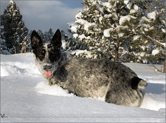 724: Raz in the snow ( Eric Osmann) Tags: park winter colorado evergreen dogpark 2011 ericosmann dec2011