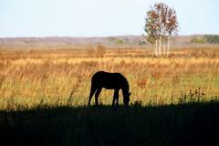 A wild horse grazes on Paynes Prairie (BP/Photo) Tags: light horse grass silhouette afternoon prairie grazing gainesvillefl paynesprairie canoneos5dmarkii