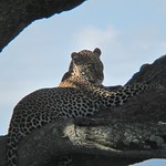 "Leopard in Tree <a style=""margin-left:10px; font-size:0.8em;"" href=""http://www.flickr.com/photos/14315427@N00/6599726085/"" target=""_blank"">@flickr</a>"