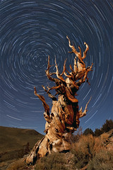 The Time Traveler (Stephen Oachs (ApertureAcademy.com)) Tags: california nightphotography moonlight startrails bristleconepine easternsierra stephenoachscom apertureacademycom